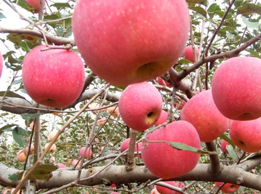 苹果树秋施基肥九注意